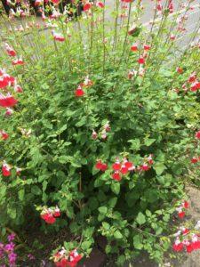 チェリーセージというハーブの花